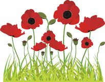 Poppies in spring isolated on white Royalty Free Stock Images