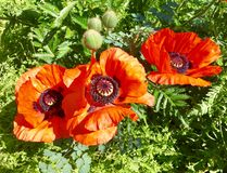 Poppies. Spring. Nature. Beautiful poppies in Springtime Royalty Free Stock Photography