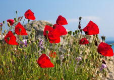 Poppies and stone Stock Image