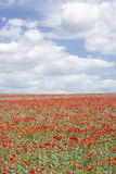 Poppies Stretching Across A Field Stock Photography