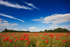 Poppies on a summer afternoon Stock Photography