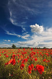 Poppies on a summer afternoon Royalty Free Stock Photos