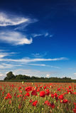Poppies on a summer afternoon Royalty Free Stock Photo