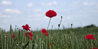 Poppies in a summer cornfield Royalty Free Stock Image