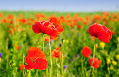 Red poppies in the summer field. Poppy field in East Europe Stock Image