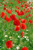 Poppies in summer field. Red poppies flowering in summer field royalty free stock photos