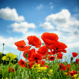 Poppies on summer field. Shallow DOF Stock Photo