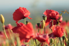 Poppies in summer. Green and red fields in dorset uk, with low depth of field Royalty Free Stock Image