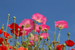 Poppies and a Summer Sky Stock Image