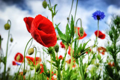 Poppies at summertime Stock Images
