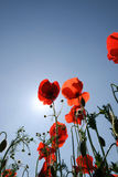 Poppies and sun. Poppies photographed with the sky on  background Stock Images