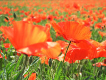 Poppies in the sun. Field of poppies - focus only on the poppy on the right side of the picture Royalty Free Stock Image