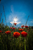Poppies with sunbeam. Red poppy field with sunbeam Royalty Free Stock Photos