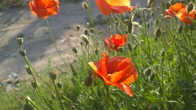 Poppies at sunny day. Stock Photo