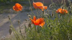 Poppies at sunny day. stock video footage