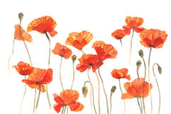 Poppies sunny field isolated Stock Image