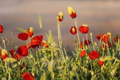Poppies at sunrise Stock Photography