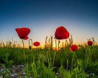 Poppies And Sunrise I Stock Image