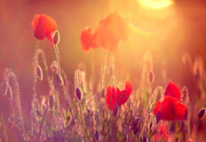 Poppies at sunrise. Red wild poppies closeup in sunshine flare stock images