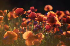 Poppies at sunset. Long shot of poppies backlit on a summer evening royalty free stock photography