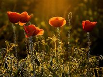 poppies at sunset in autumn Stock Photo