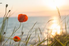 Poppies at sunset background Stock Photo