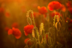 Poppies at sunset Royalty Free Stock Images