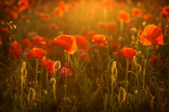 Poppies at sunset Stock Images