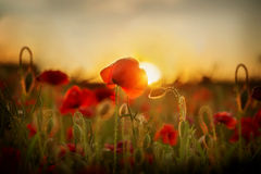 Poppies at sunset. Beautiful poppies meadow at sunset stock image