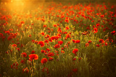Poppies at sunset Stock Photography