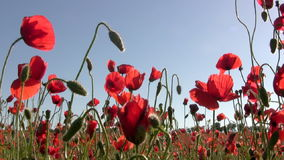 Poppies at sunset stock video footage