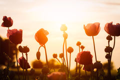 Poppies at sunset Royalty Free Stock Photos