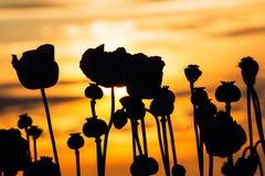 Poppies at sunset Stock Photo