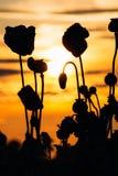 Poppies at sunset Stock Photos