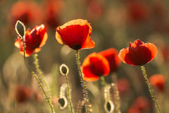 Poppies in sunset Stock Image