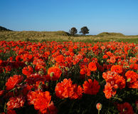 Poppies at sunset. A field of poppies during sunset royalty free stock photo