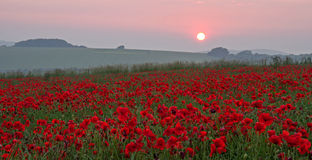 Poppies at Sunset. A field of poppies at Sunset. A commemoration of the thousands who died during the First World War. At the going down of the sun...we will royalty free stock photography