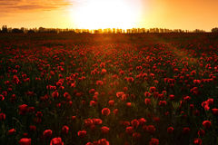 Poppies at sunset Royalty Free Stock Image