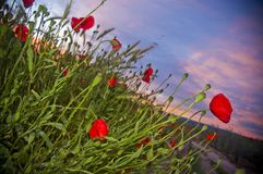 Poppies at sunset lighting with flash royalty free stock photo