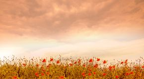 Poppies at Sunset royalty free stock photo