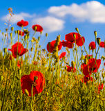 Poppies at sunset in the summer Royalty Free Stock Photo