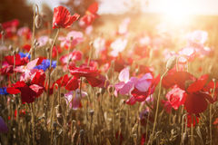 Poppies in sunshine Stock Image