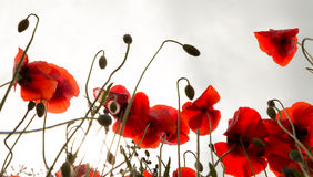 Poppies in sunshine Royalty Free Stock Photo