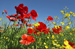 Poppies in sunshine. Stock Images