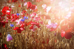Poppies in sunshine Royalty Free Stock Photos