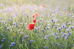 Poppies surrounded by cornflowers Royalty Free Stock Photography