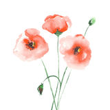 Poppies. Three red poppies painted with watercolors, on a white background Royalty Free Stock Photo
