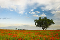 Poppies and tree Stock Photography