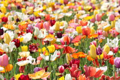 Poppies and Tulips 1 Stock Photo