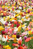 Poppies and Tulips 2 Stock Images